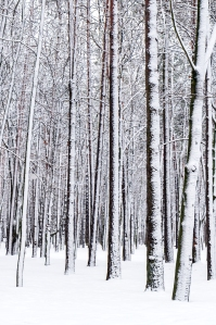 bigstock-Winter-Forest-56265137